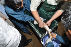 An expert is showing his techniques of collecting caviar from sturgeon fish Royalty Free Stock Photo
