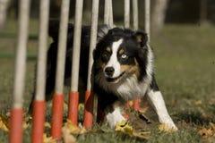 expertis för agilitykonkurrenshund Arkivbilder