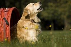 expertis för agilitykonkurrenshund Arkivfoton