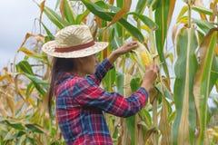 Experto agrícola que examina calidad del maíz maduro fotografía de archivo libre de regalías