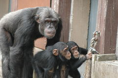 Experts gorillas Royalty Free Stock Photo