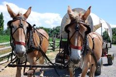 Exploaterade hästar drar en dold vagn royaltyfria bilder