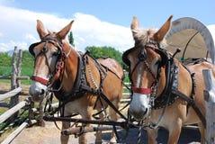 Exploaterade hästar drar en dold vagn arkivfoto