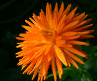 Exploderande blomma Royaltyfria Foton