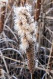 Exploderande cattail i ett träsk Arkivfoto