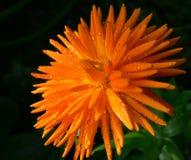 Explodierende Blume Lizenzfreie Stockfotos