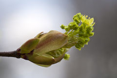 Exploding bud during spring time. Exploding bud tree during spring time Stock Photos