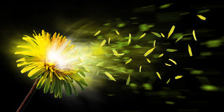 Exploding dandelion. A nice yellow dandelion explode and the leaf is flying away Stock Photography