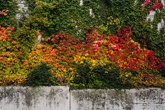 Exploding Fall Colors. Along Modern Concrete Wall royalty free stock image