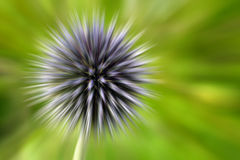 Exploding Globe Thistle Stock Photo