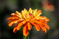 Exploding Orange Royalty Free Stock Photo