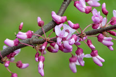 Exploding Redbud. The showy blossoms of a redbud branch explode with color, pink, magenta and white. Soft out of focus green background stock photography