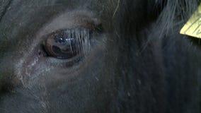 Exploitation d'élevage, élevant des vaches clips vidéos