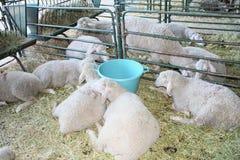 Exploitation d'élevage, troupeau de moutons Image libre de droits