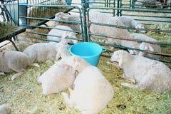 Exploitation d'élevage, troupeau de moutons Images libres de droits