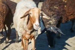 Exploitation d'élevage, troupeau de moutons Photos libres de droits