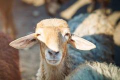 Exploitation d'élevage, troupeau de moutons Photos stock