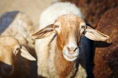 Exploitation d'élevage, troupeau de moutons Photographie stock libre de droits