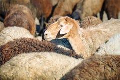 Exploitation d'élevage, troupeau de moutons Image stock