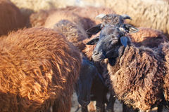 Exploitation d'élevage, troupeau de moutons Photo libre de droits