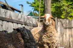 Exploitation d'élevage, troupeau des moutons Image stock