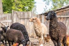 Exploitation d'élevage, troupeau des moutons Photographie stock