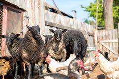 Exploitation d'élevage, troupeau des moutons Photos libres de droits