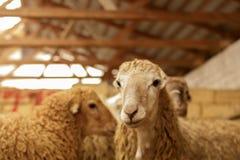 Exploitation d'élevage, troupeau des moutons Projectile d'intérieur Photos libres de droits