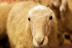 Exploitation d'élevage, troupeau des moutons Projectile d'intérieur Photo libre de droits