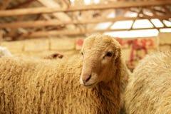 Exploitation d'élevage, troupeau des moutons Projectile d'intérieur Photographie stock