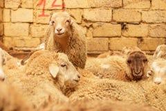Exploitation d'élevage, troupeau des moutons Projectile d'intérieur Photographie stock libre de droits
