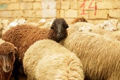 Exploitation d'élevage, troupeau des moutons Projectile d'intérieur Photo stock