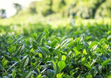 Exploitation et feuilles de thé vertes fraîches de plantation s'élevant au soleil Images stock