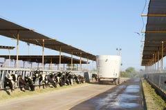 Exploitation laitière de désert : distribution de fourrage Image stock