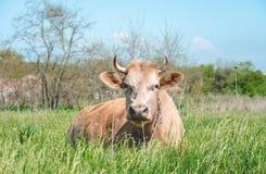 Exploitation laitière de pays Vache sur un pré vert Images stock