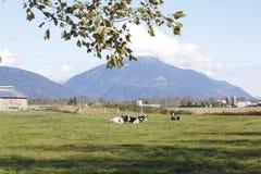 Exploitation laitière près des montagnes Photo stock