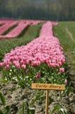 Exploração agrícola da tulipa imagem de stock
