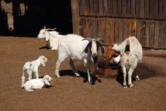 Exploração agrícola africana da cabra Fotografia de Stock