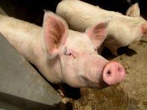 Exploração agrícola animal dos porcos Fotografia de Stock