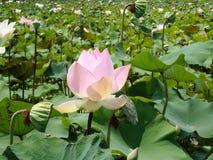 Exploração agrícola bonita de Lotus Fotos de Stock