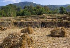 Exploração agrícola bonita do arroz Imagens de Stock