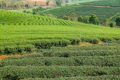 Exploração agrícola bonita do chá com ambiente verde Fotografia de Stock Royalty Free
