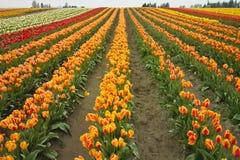Exploração agrícola colorida do Tulip Fotos de Stock