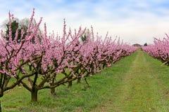 Exploração agrícola com árvores florescidas Foto de Stock Royalty Free