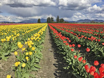 Exploração agrícola com as tulipas amarelas e vermelhas Imagens de Stock Royalty Free
