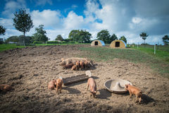 Exploração agrícola com porcos e fundo do céu Imagem de Stock