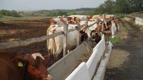 Exploração agrícola com vacas video estoque