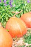 Exploração agrícola da abóbora Fotos de Stock Royalty Free