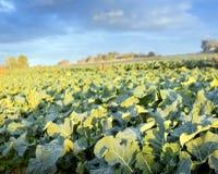 Exploração agrícola da alface Imagens de Stock Royalty Free