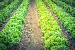 Exploração agrícola da alface do vintage pronta para colher em Kent, Washington, EUA foto de stock